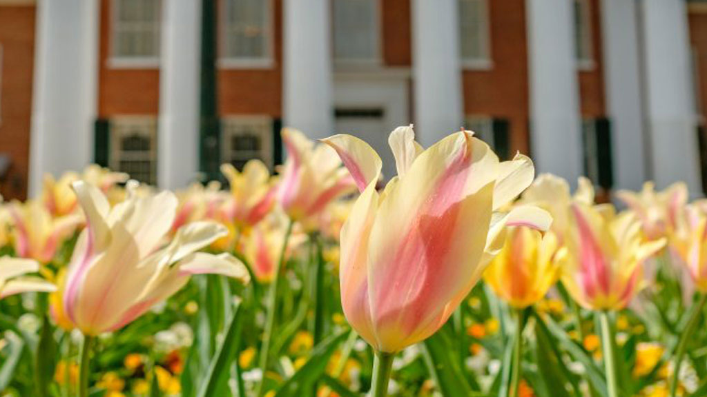 Tulips in front of the University of Mississippi Lyceum